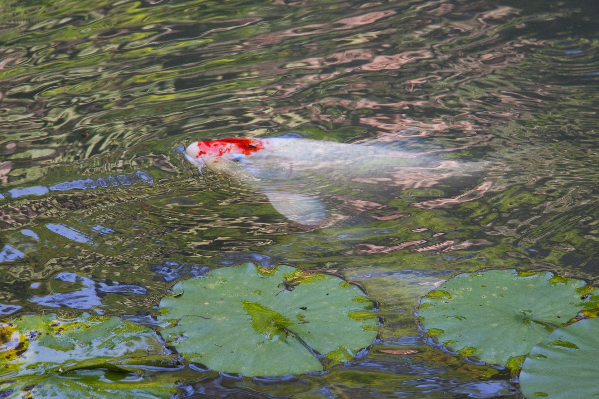 Backyard aquaculture raise fish for profit worldwide for Koi pond temperature