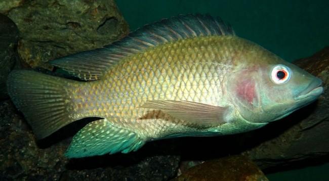 Aquaculture fish farming of tilapia at home worldwide for Tilapia fish farming