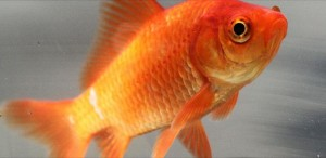 800px-Common_goldfish