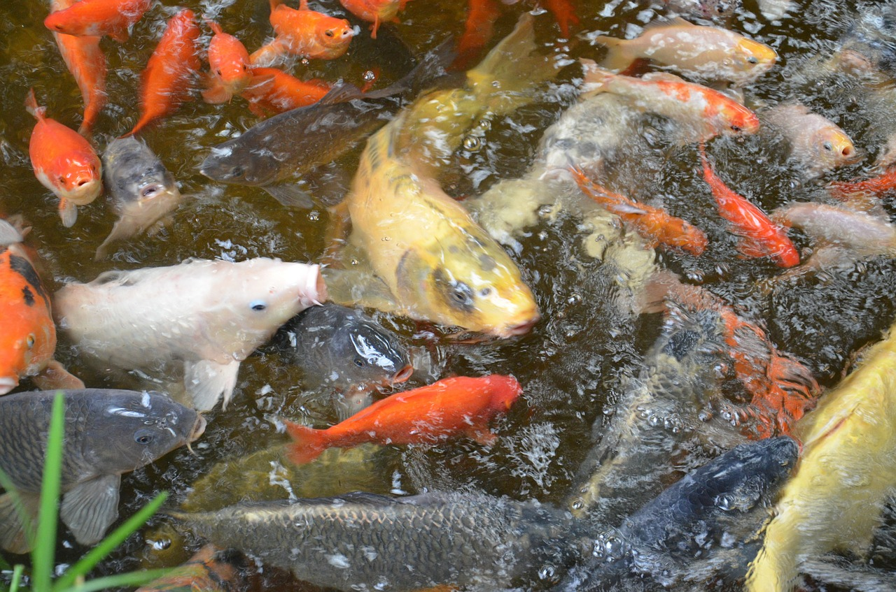 Backyard aquaculture raise fish for profit worldwide for Koi pond fish