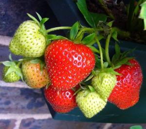 strawberries-56995