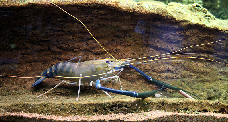 Freshwater Shrimp Farming - How to Start Your Own Shrimp ...