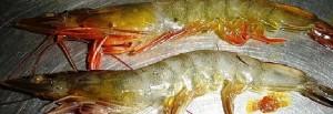 banner shrimp