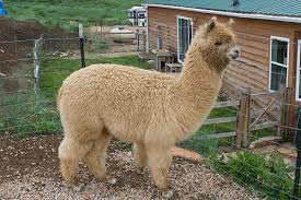 Alpaca new
