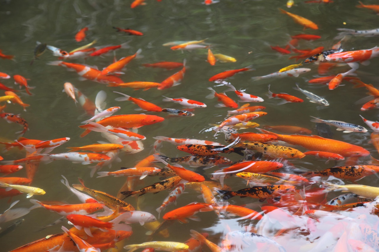 Could insects be alternative to fish meal in aquaculture for Koi fish farm near me