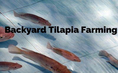 Turn your backyard Into a Fish Farm – Raise Tilapia at Home