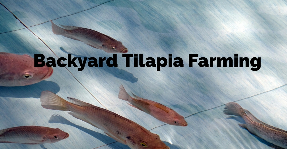Turn your backyard Into a Fish Farm – Raise Tilapia at ...
