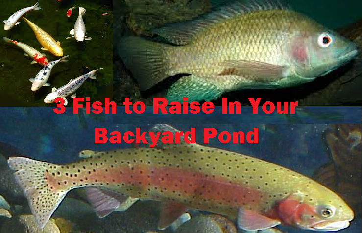 3 fish to raise in your backyard fish pond worldwide for Outdoor fish pond care