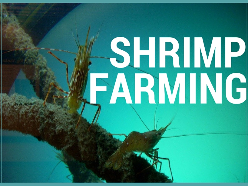 Why Shrimp Farming?