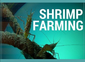 shrimp farming aquaculture