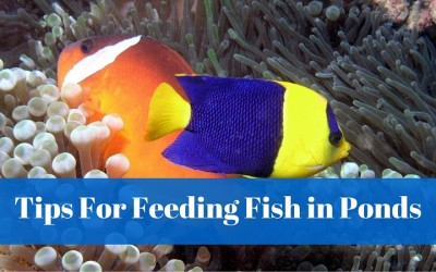 Tips For Feeding Fish In Ponds