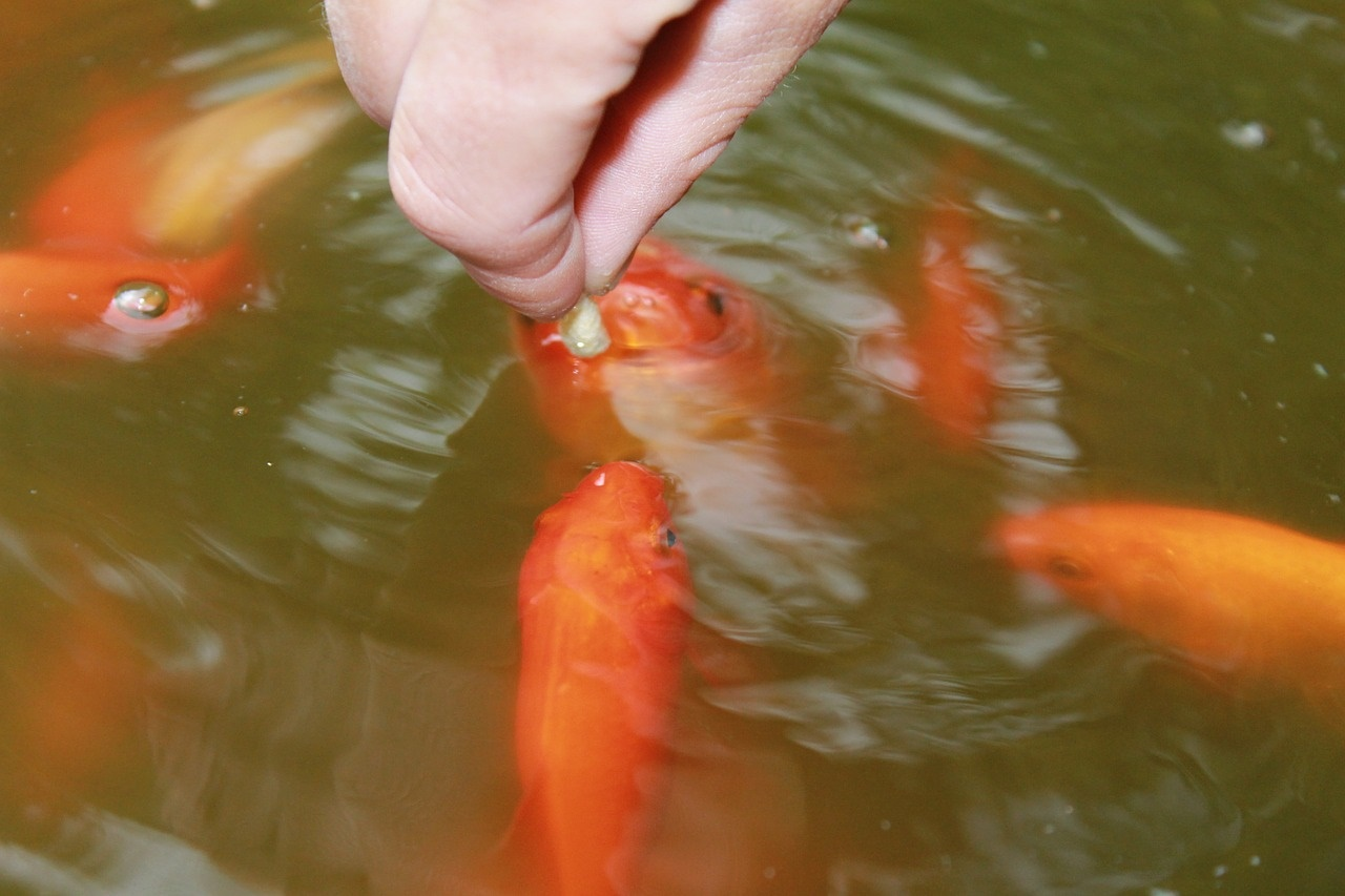 Tips for feeding fish in ponds worldwide aquaculture for What to feed koi fish