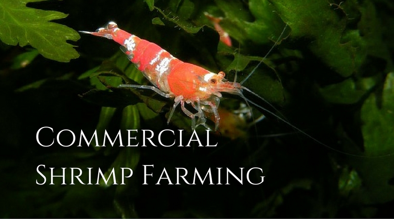 Commercial Shrimp Farming Business to Feed the World