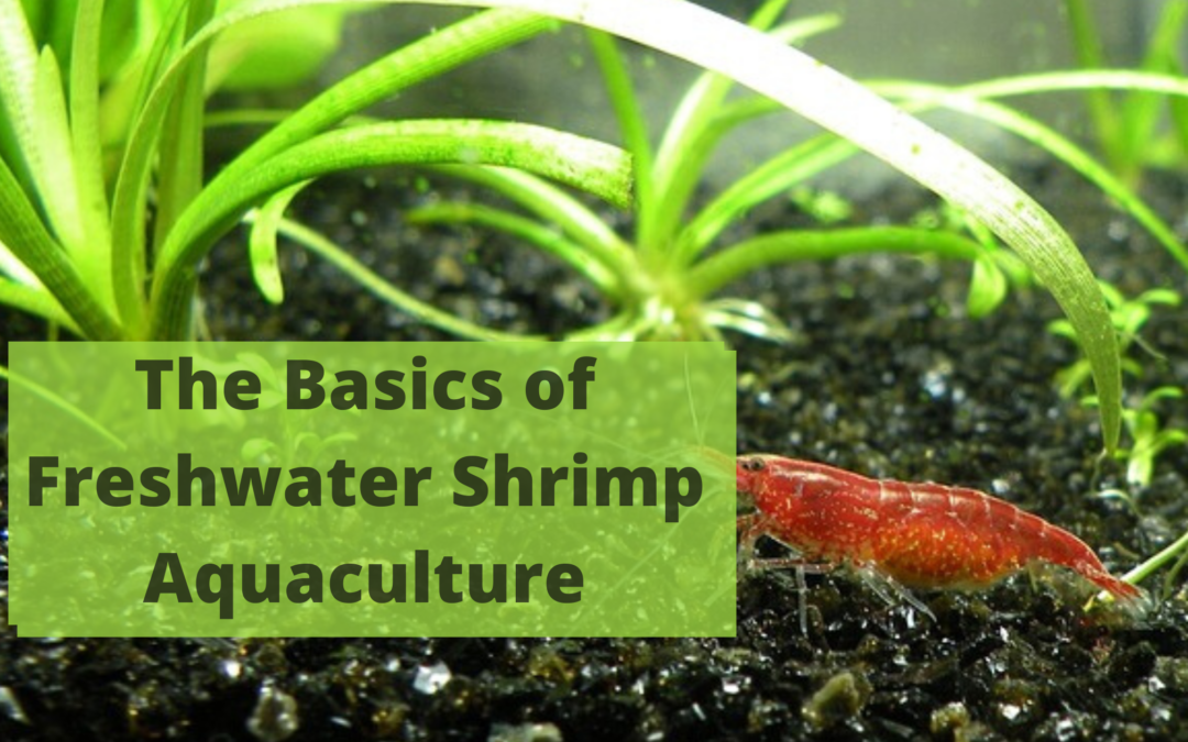 The Basics of Freshwater Shrimp Aquaculture